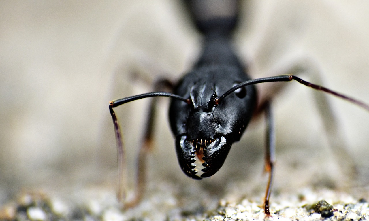 Lasius Niger Garden Ant Black Ant Insect Jaws
